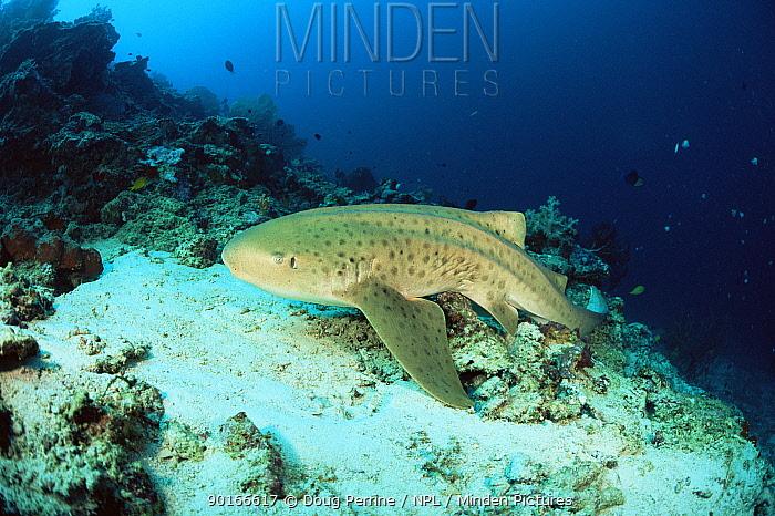 Zebra, Leopard shark (Stegostoma fasciatum) Malaysia  -  Doug Perrine/ npl