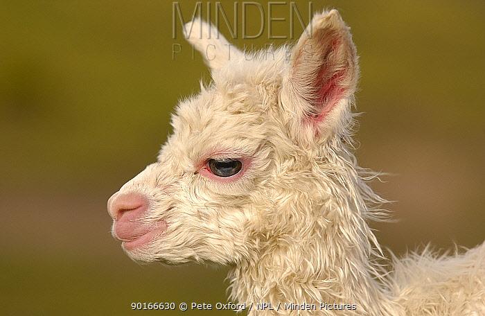 Alpaca baby (Lama pacos) Andes Ecuador  -  Pete Oxford/ npl