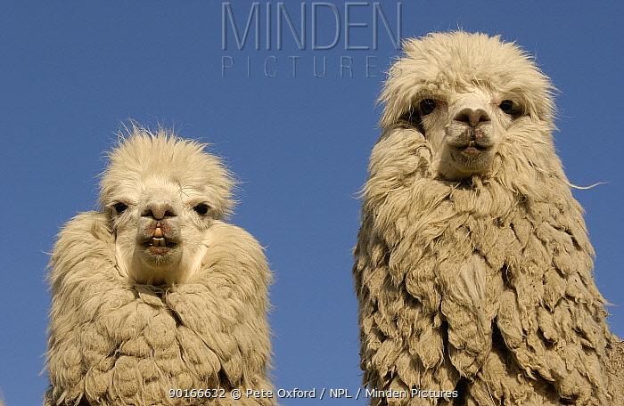 Two Alpacas (Lama pacos) head portraits, Andes Ecuador  -  Pete Oxford/ npl