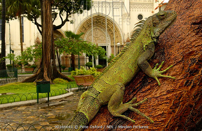 Common Green Iguana (Iguana iguana) living wild in Parque Seminario, Guayaquil, Ecuador 2005  -  Pete Oxford/ npl
