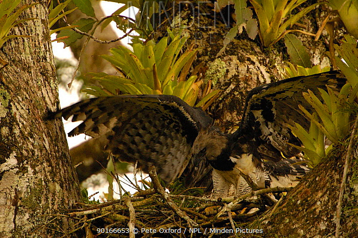 Harpy eagle (Harpia harpyja) female brings large twig to line nest, probably to cover old bones and carcasses Aguarico river drainage system Amazon Rain Forest, Ecuador Critically endangered  -  Pete Oxford/ npl