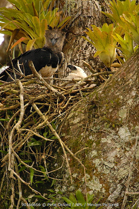 Harpy eagle and 5-month-old chick (Harpia harpyja) Aguarico river drainage system Amazon Rainforest, Ecuador Critically endangered species  -  Pete Oxford/ npl
