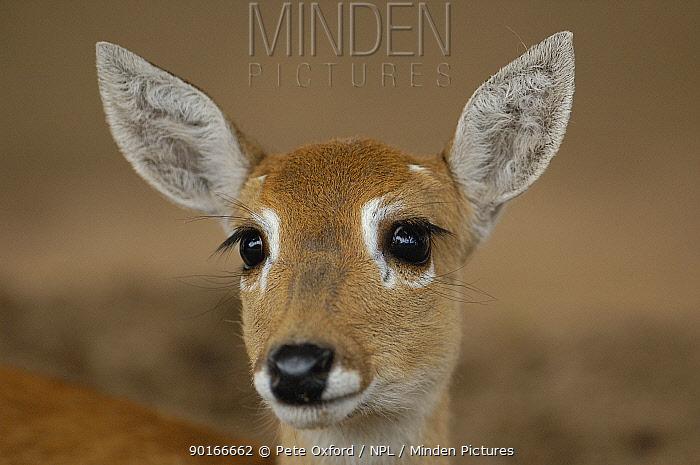 Pampas deer, fawn (Ozotoceros bezoarticus) Serra da Bodoquena Mato Grosso do Sur Province  -  Pete Oxford/ npl