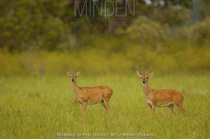 Pampas deer pair (Ozotoceros bezoarticus) Serra da Bodoquena Mato Grosso do Sur Province  -  Pete Oxford/ npl
