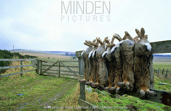 Rabbits hanging on fence, shot by gamekeeper (Oryctolagus cuniculus) Scotland  -  Brian Lightfoot/ npl