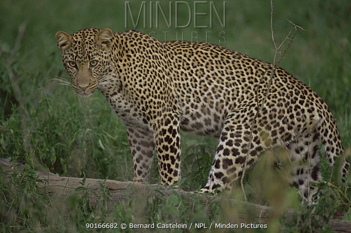 Leopard (Panthera pardus) Samburu, Kenya  -  Bernard Castelein/ npl