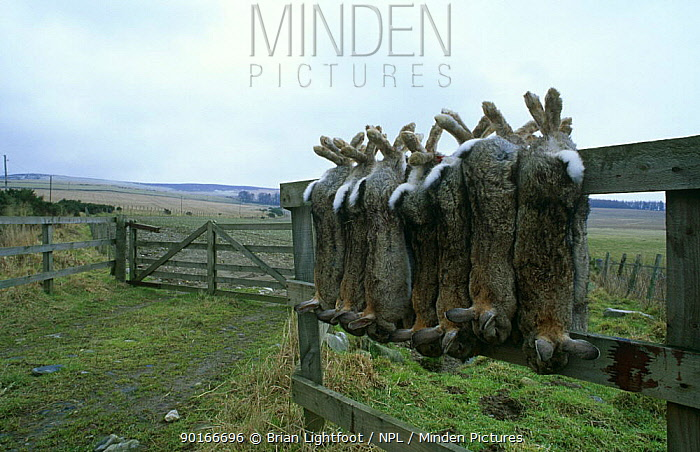 Dead rabbits (Oryctolagus cuniculus) hanging on fence post, shot by gamekeeper, Scotland  -  Brian Lightfoot/ npl