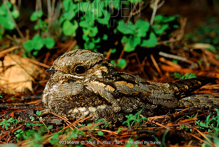 Nightjar at nest on ground, Spain  -  Jose B. Ruiz/ npl