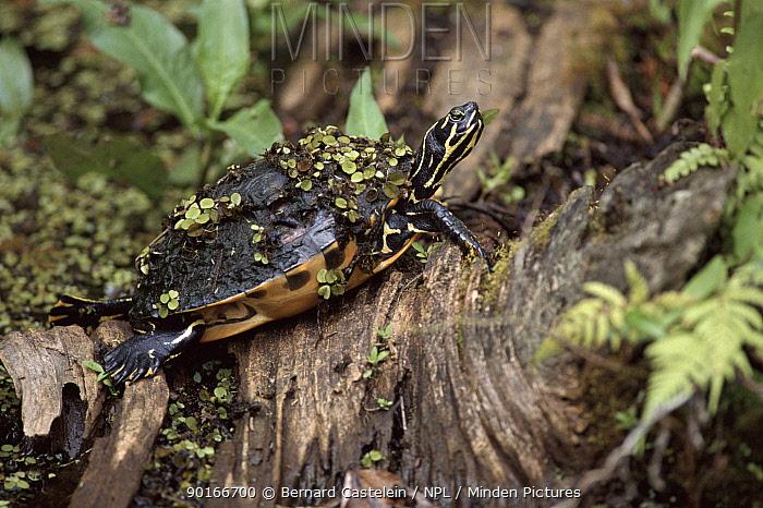 Red bellied turtle, Corkscrew Swamp, Florida USA  -  Bernard Castelein/ npl