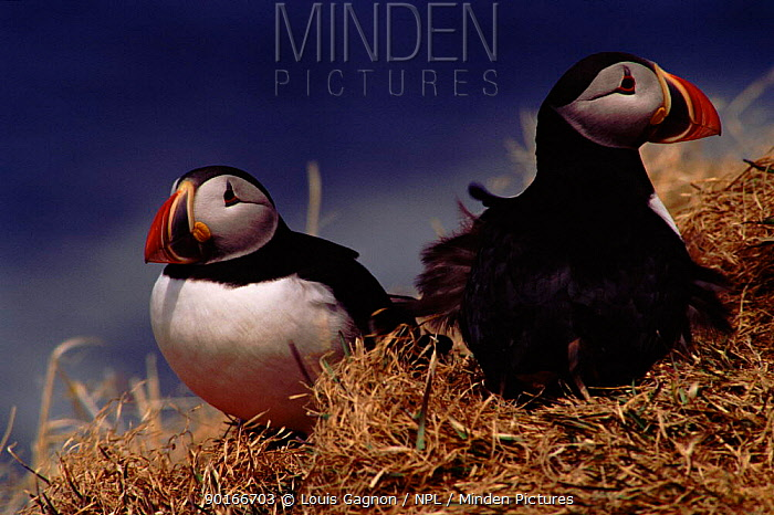 Atlantic Puffins in grass, Canada  -  Louis Gagnon/ npl