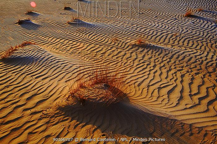 Sand dunes, Kalmthoutse Heide Nature Reserve, N Belgium  -  Bernard Castelein/ npl