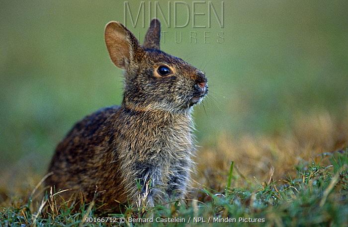Marsh rabbit (Sylvilagus palustris) Florida, USA  -  Bernard Castelein/ npl