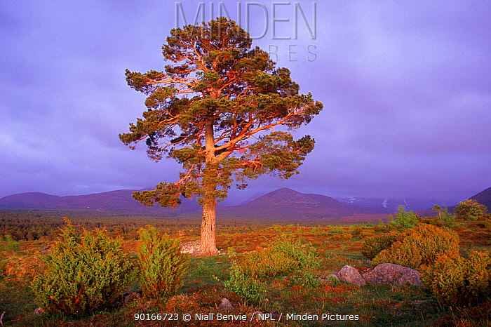 Scots pine (Pinus sylvestris) with Cairngorms in background Speyside, Scotland, UK, Europe  -  Niall Benvie/ npl