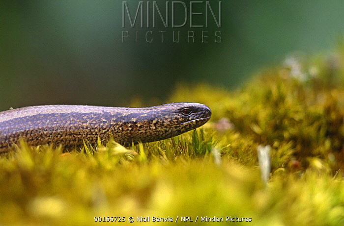 Female Slow worm (Anguis fragilis) Scotland  -  Niall Benvie/ npl