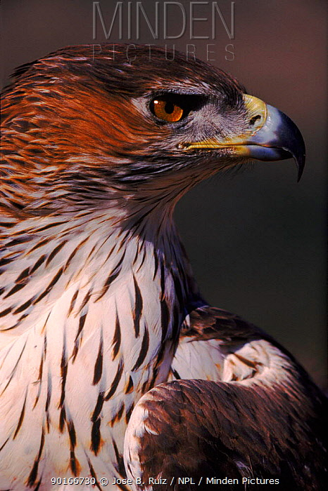 Bonelli's eagle female head portrait, Spain  -  Jose B. Ruiz/ npl