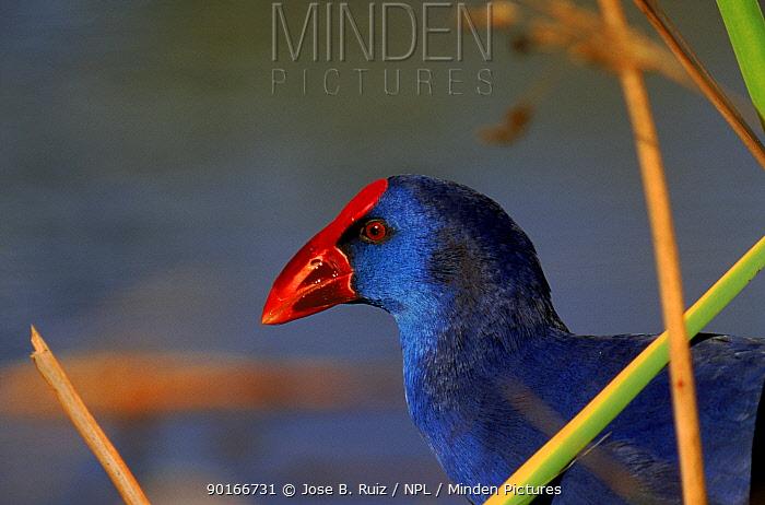 Purple swamphen (gallinule), Spain  -  Jose B. Ruiz/ npl