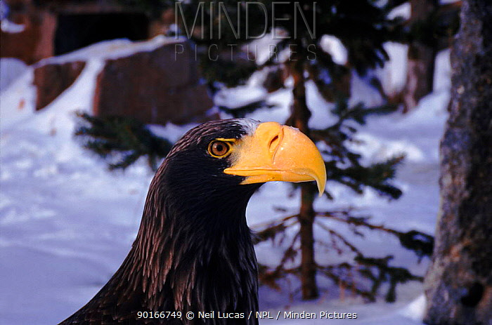 Steller's sea eagle head portrait  -  Neil Lucas/ npl