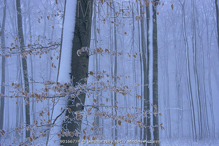 European beech (Fagus sylvatica) wood in winter, Sweden  -  Dietmar Nill/ npl