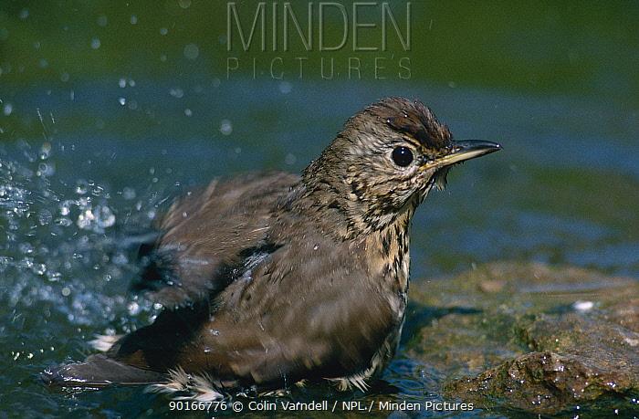 Song thrush bathing (Turdus philomelos) UK  -  Colin Varndell/ npl