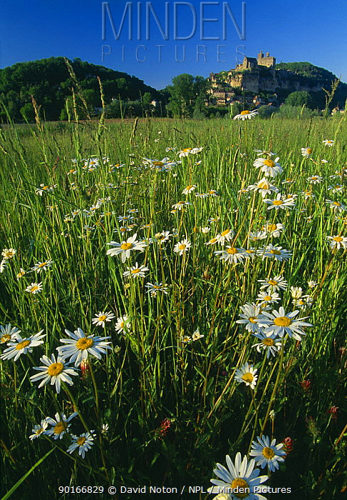 Daisies in a field with the chateau of Beynac-et-Cazerac beyond, Dordogne Valley, Perigord, France  -  David Noton/ npl