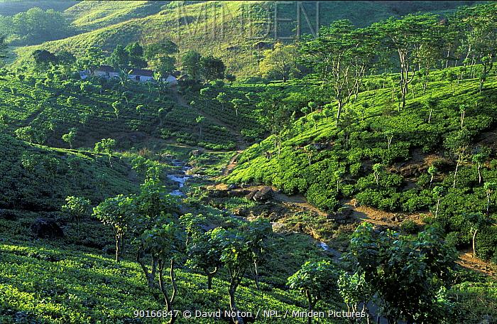 Tea plantation, nr Hunas Falls, Matale District, Hill Country, nr Kandy, Sri Lanka  -  David Noton/ npl