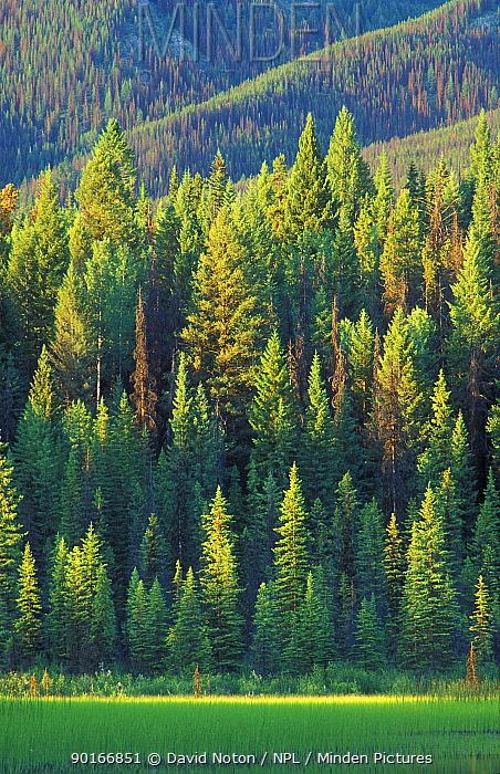 Pine trees, Dog Lake, Kootenay National Park, British Columbia, Canada  -  David Noton/ npl
