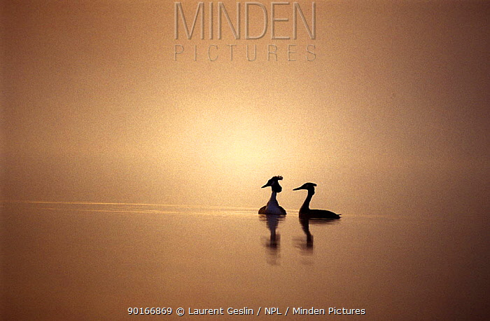 Great crested grebe (Podiceps cristatus) pair silhouetted at dawn, Europe  -  Laurent Geslin/ npl