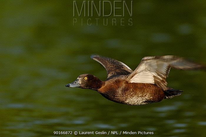 Tufted duck (Aythya fuligula) female flying UK  -  Laurent Geslin/ npl