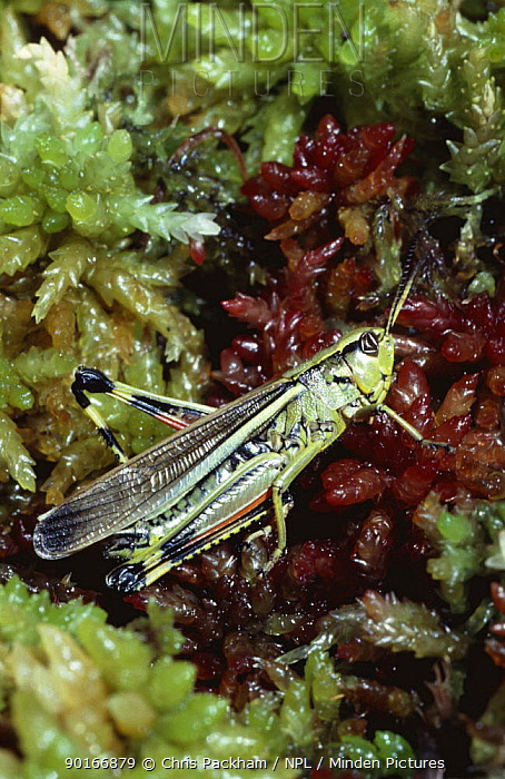 Large marsh grasshopper (Stethophyma grossum) resting on sphagnum bog, New Forest, Hampshire, UK This species is specially protected in UK  -  Chris Packham/ npl
