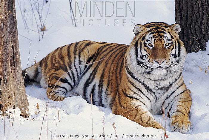 Siberian Tiger, USA (Captive animal)  -  Lynn M. Stone/ npl