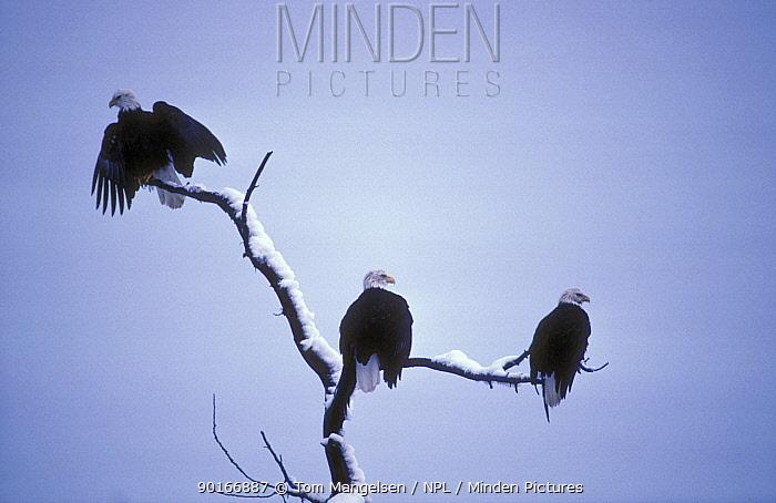 American bald eagles on perch (Haliaeetus leucocephalus) Alask  -  Tom Mangelsen/ npl