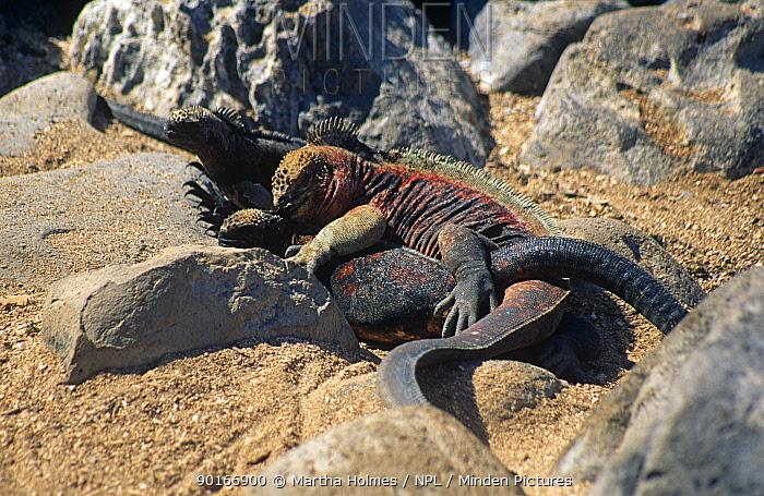 Marine iguanas mating (Amblyrhynchus cristatus) Espanola Island, Galapagos  -  Martha Holmes/ npl