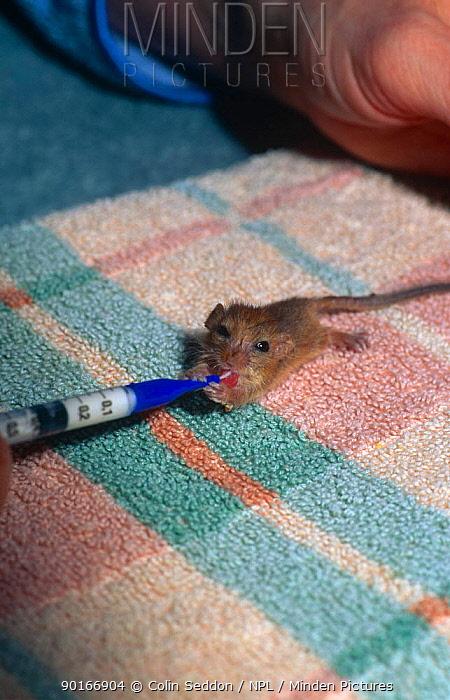 Hand feeding baby orphaned Dormouse with syringe (Muscardinus avellanarius) UK  -  Colin Seddon/ npl