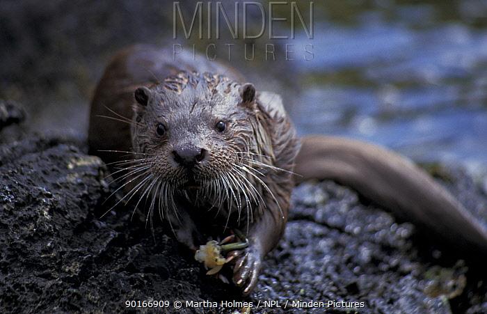 European river otter eats crab (Lutra lutra) Shetland Is, UK Juvenile male  -  Martha Holmes/ npl