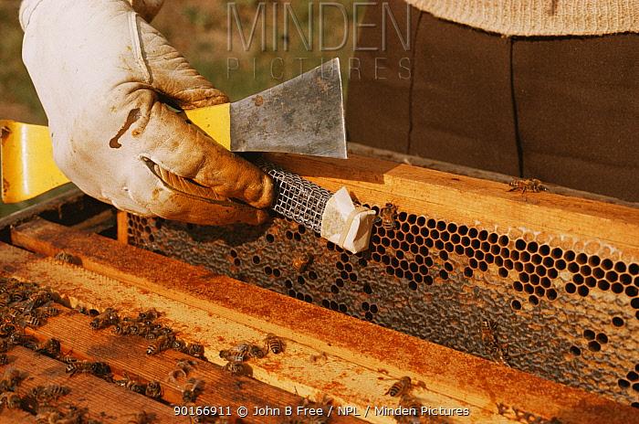 Introducing queen honey bee (Apis mellifera) to hive, UK (Queen has been reared artificially)  -  John B Free/ npl