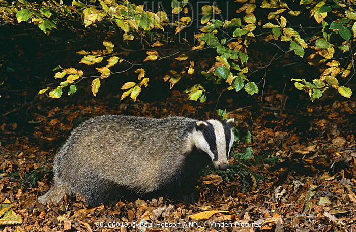 Badger (Meles meles) in beech wood, Yorkshire, UK  -  Paul Hobson/ npl