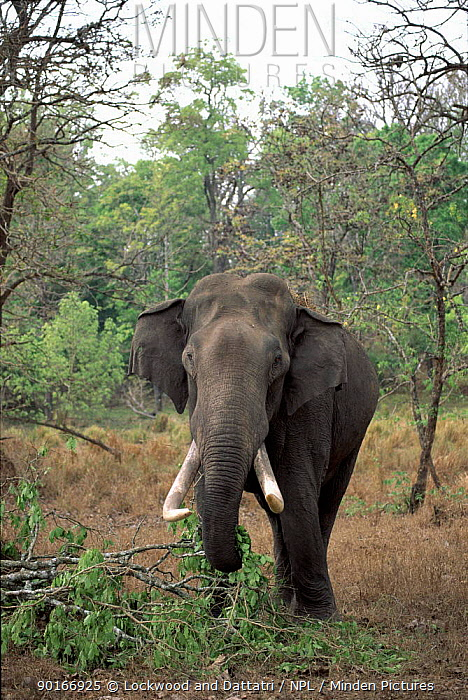 Male Indian elephant tusker (Elephas maximus) grazing on falled tree trunks, Nagarahole NP, Karnataka, Southern India  -  Ana Lockwood/ npl