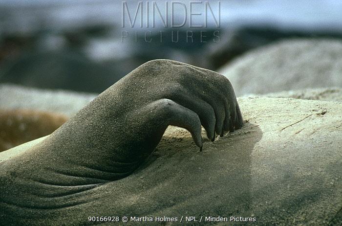 Southern elephant seal (Mirounga leonina) close-up of hand-like flipper scratching, Falkland Islands  -  Martha Holmes/ npl