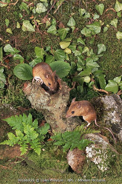 Wood mice (Apodemus sylvaticus) UK captive  -  Colin Preston/ npl
