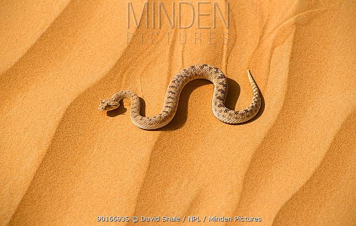 Horned viper moving across sand (Cerastes cerastes) United Arab Emirates  -  David Shale/ npl