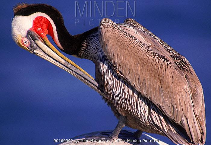 Brown pelican preening breeding plumage, California USA  -  Tom Mangelsen/ npl