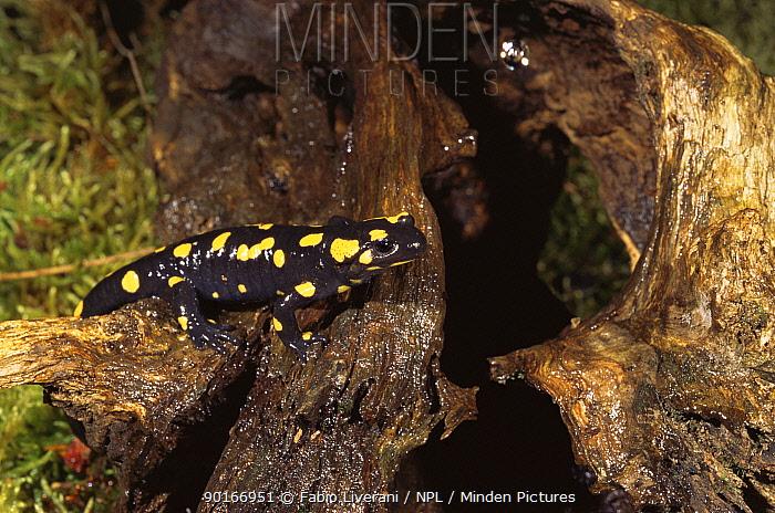 European salamander (Salamandra salamandra) Italy Warning colours  -  Fabio Liverani/ npl