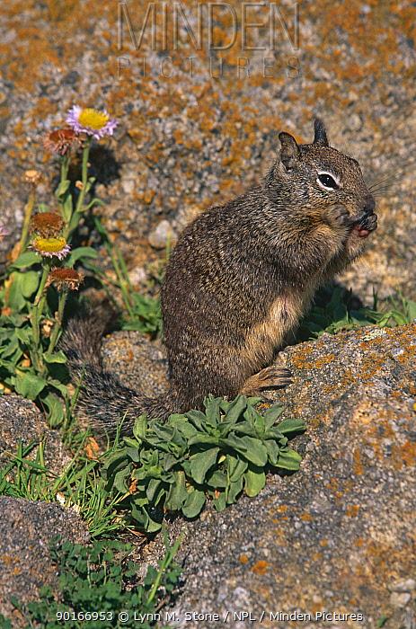 California ground squirrel (Spermophilus beecheyi) CA, USA  -  Lynn M. Stone/ npl