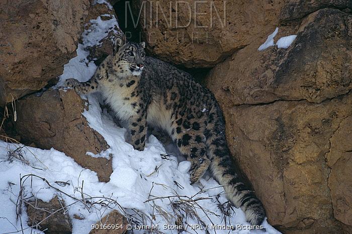 Snow Leopard (Panthera uncia) in snow, Captive  -  Lynn M. Stone/ npl