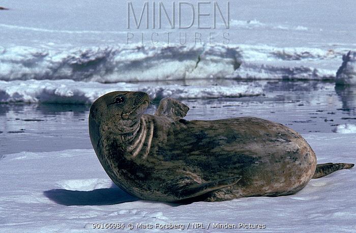 Weddell seal on ice, Antarctica  -  Mats Forsberg/ npl