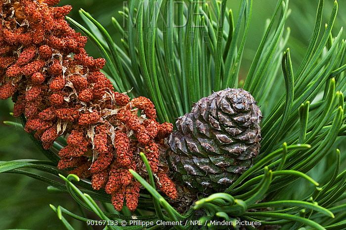 Male flowers and developing cone on Swiss Mountain Pine (Pinus mugo), arboretum, Belgium  -  Philippe Clement/ npl