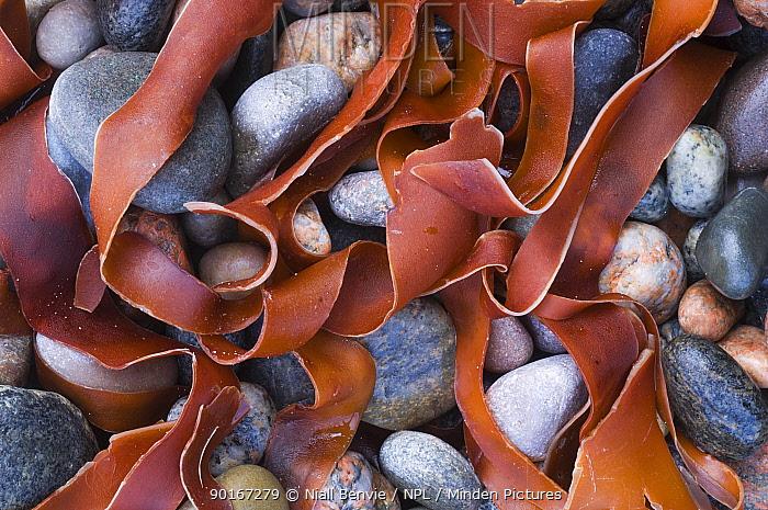 Kelp amongst pepples on beach, Tiree, Scotland UK  -  Niall Benvie/ npl