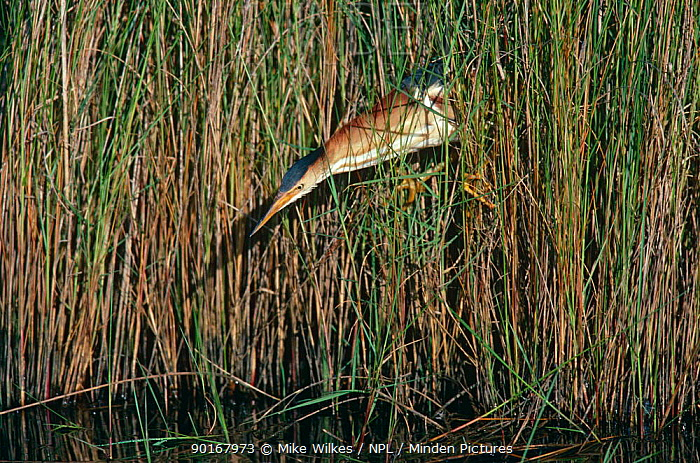 Least bittern (Lxobrychus exilis) fishing in reed bed, Texas, USA  -  Mike Wilkes/ npl