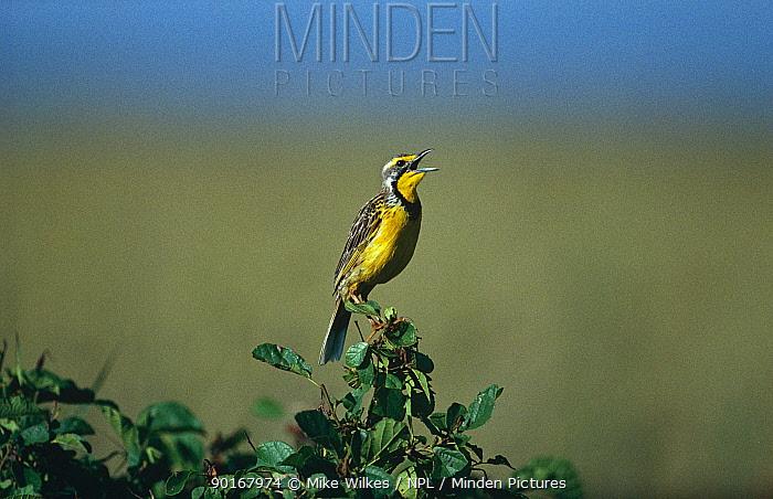 Yellow throated longclaw (Macronyx croceus) singing, Masia Mara, Kenya  -  Mike Wilkes/ npl