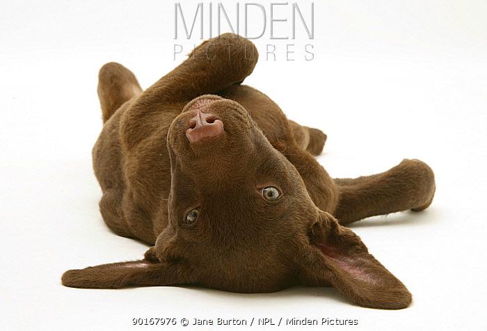 Chesapeake Bay Retriever dog pup, Teague, 9 weeks old, rolling on the ground  -  Jane Burton/ npl